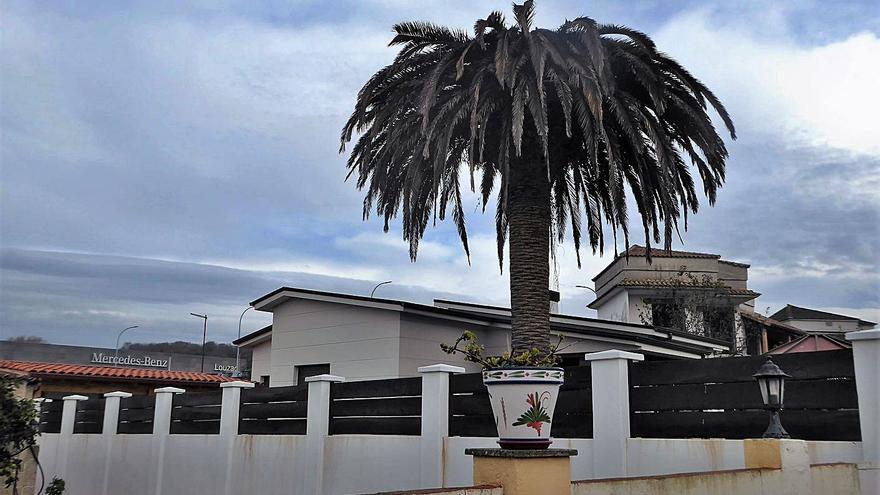 La plaga del picudo rojo sigue arrasando las palmeras de Oleiros
