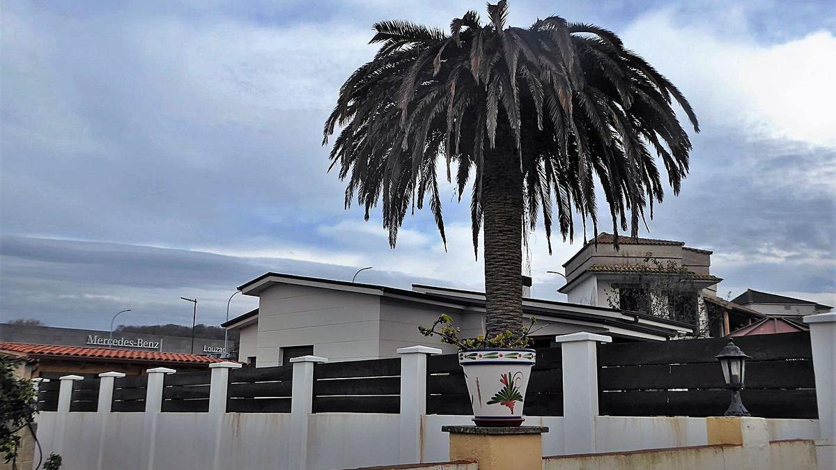 La plaga del picudo rojo sigue arrasando las palmeras de Oleiros | I.R.