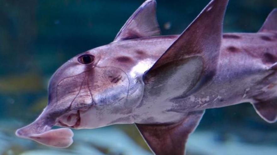 El genoma del tiburón elefante, una vía para curar la osteoporosis
