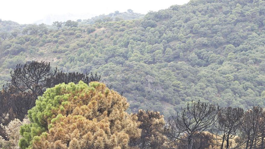 La regeneración de la flora de Sierra Bermeja y el Valle del Genal tardará décadas