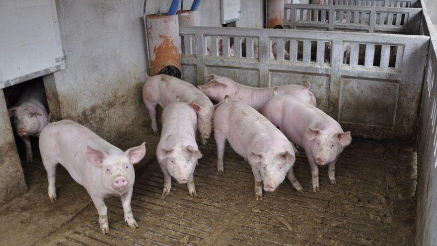 Cerdo o berza