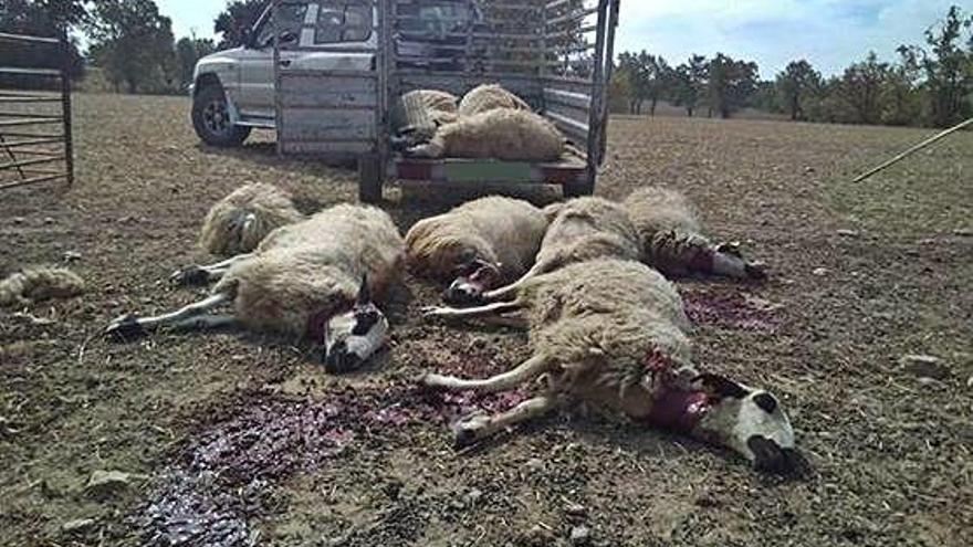 El lobo ataca en una ganadería de Tamame