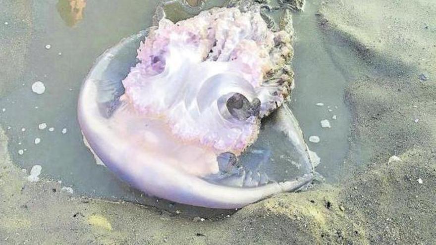 Expertos insisten en no retirar medusas del mar por su papel para el fondo marino