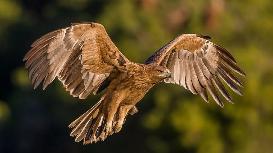 La provincia de Córdoba cuenta con 32 parejas reproductoras de águila imperial ibérica