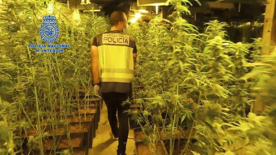 Desmantelan una macroplantación con 5.000 plantas de marihuana con destino al norte de Alemania