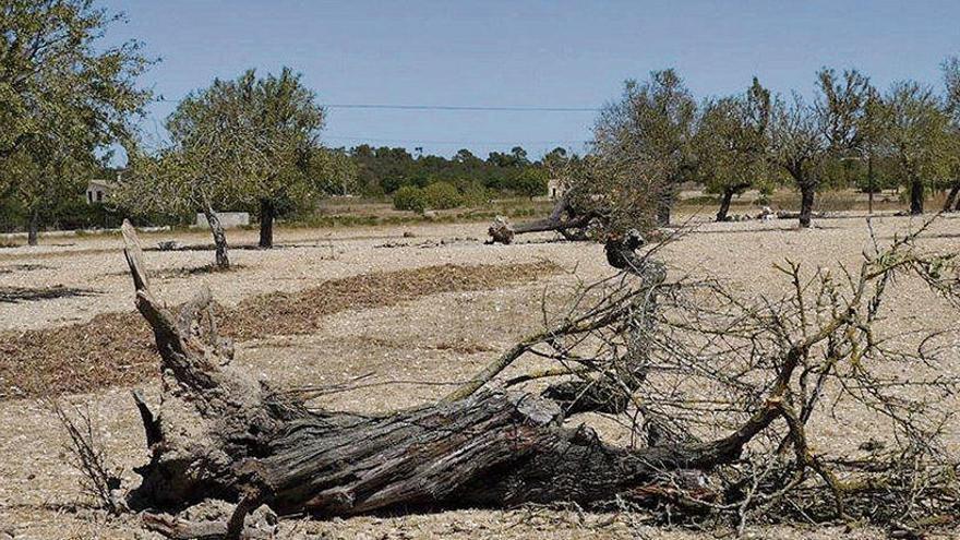 Das Feuerbakterium wütet seit Jahrzehnten auf Mallorca