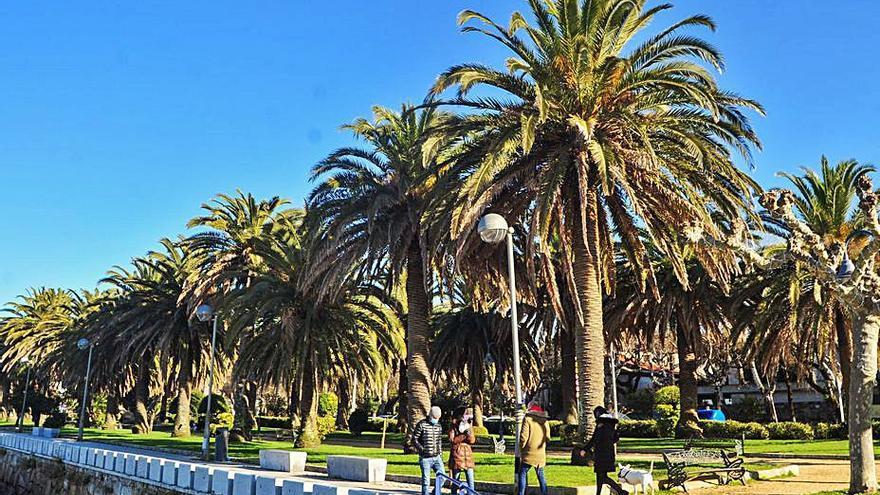 El tratamiento de las palmeras de A Calzada cuesta 17.000 euros al año