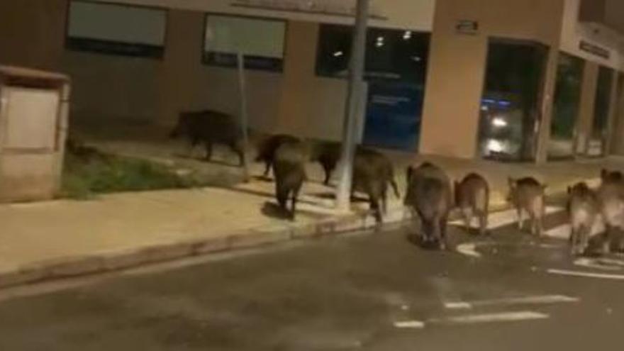 Una docena de jabalíes recorre de madrugada diversas calles de Carcaixent