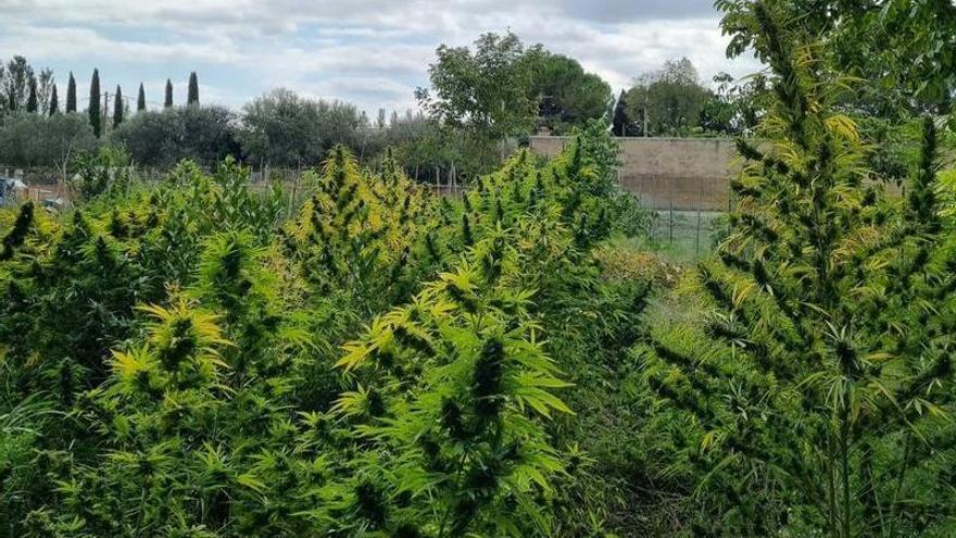 El troben custodiant un hort de marihuana a Figueres i el detenen