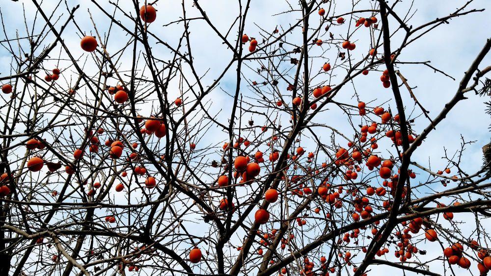 Caquier pelat però ben ple de fruits