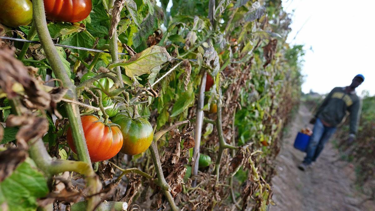 El bajo precio en el campo de las hortalizas lleva a muchos agricultores de la provincia de Alicante a abandonar las cosechas para no perder dinero. |