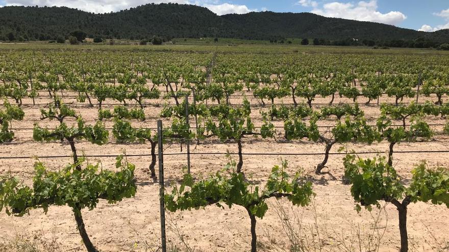 Vinos de Alicante defiende el viñedo del Vinalopó frente al impacto de las plantas solares