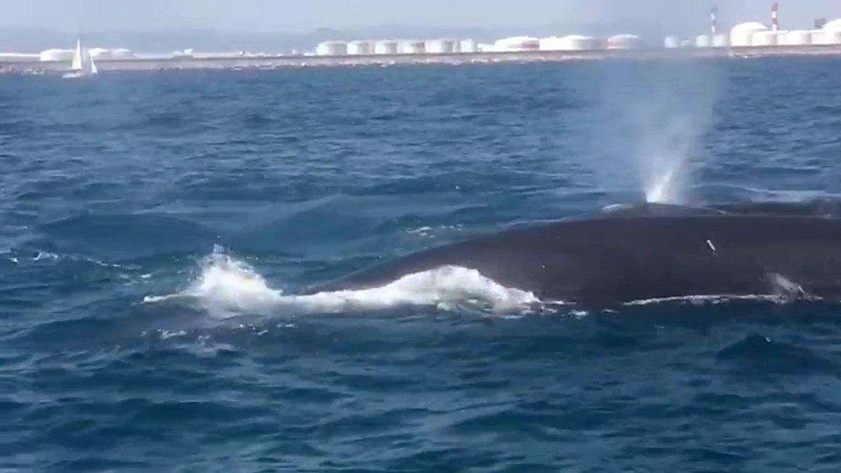 Una familia de ballenas obliga a detener el tráfico marítimo en el puerto de Barcelona