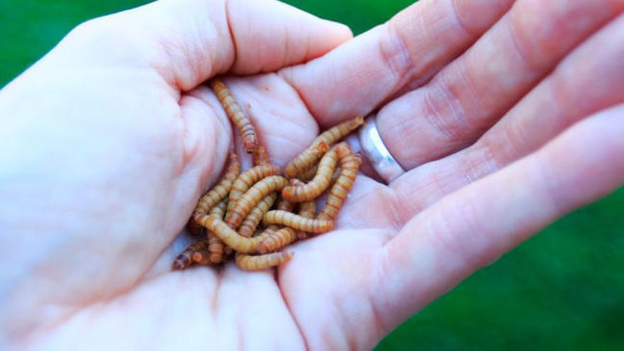 La harina de gusanos entra en la despensa europea