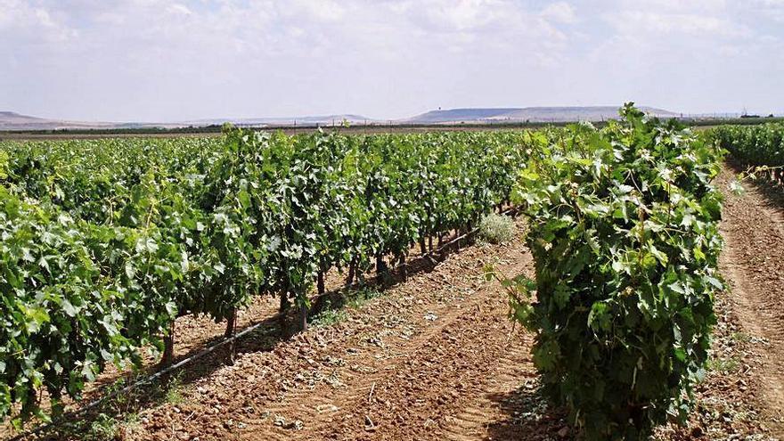 Los viticultores, en alerta ante la posible detección de casos de mildiu