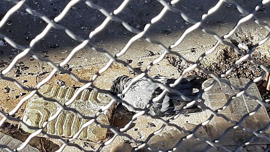 Denuncian la muerte de palomas en el Parc Central