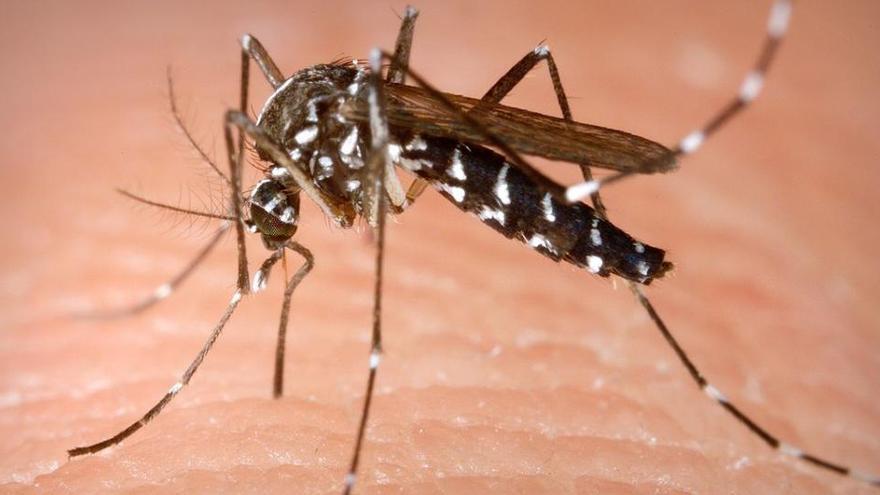 El mosquito tigre vuelve al ataque en Baleares