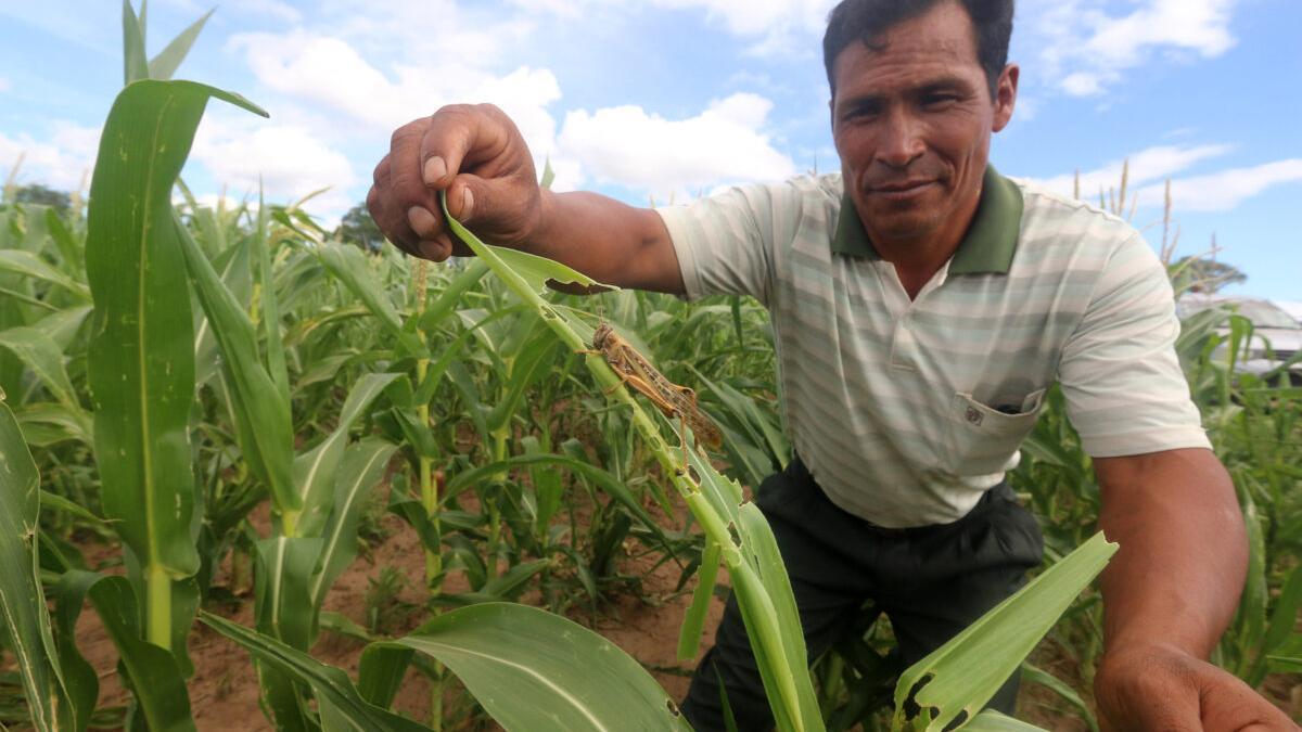 El cambio climático dispara las plagas, que ya destruyen el 40% de los cultivos