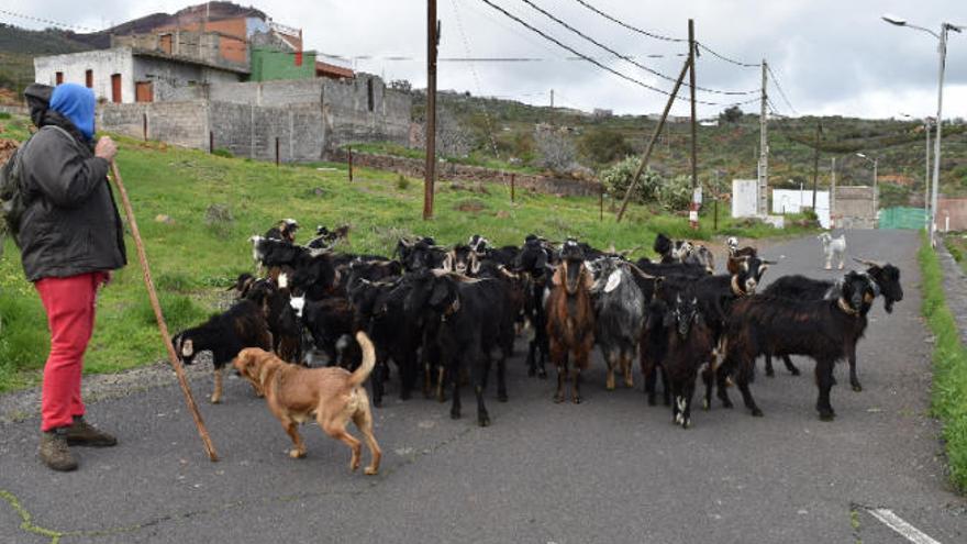 Los ganaderos de El Rosario pueden solicitar ayudas de mantenimiento