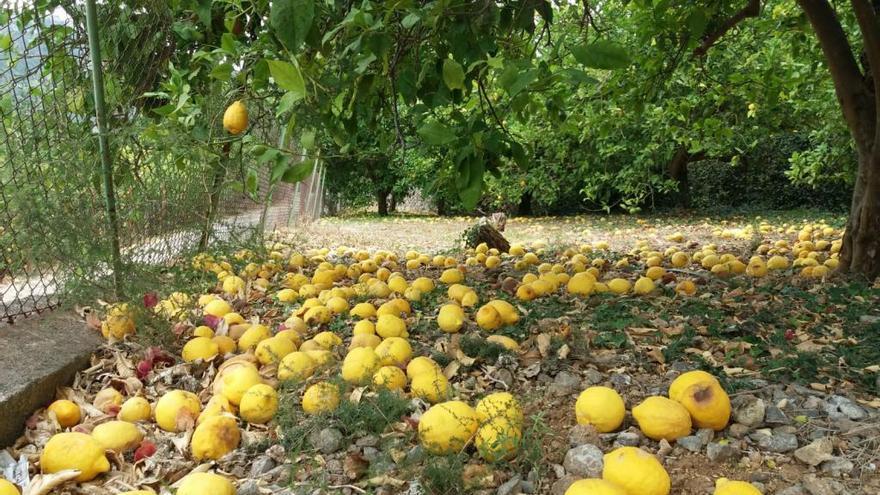 Orangen und Zitronen verfaulen tonnenweise auf Mallorca