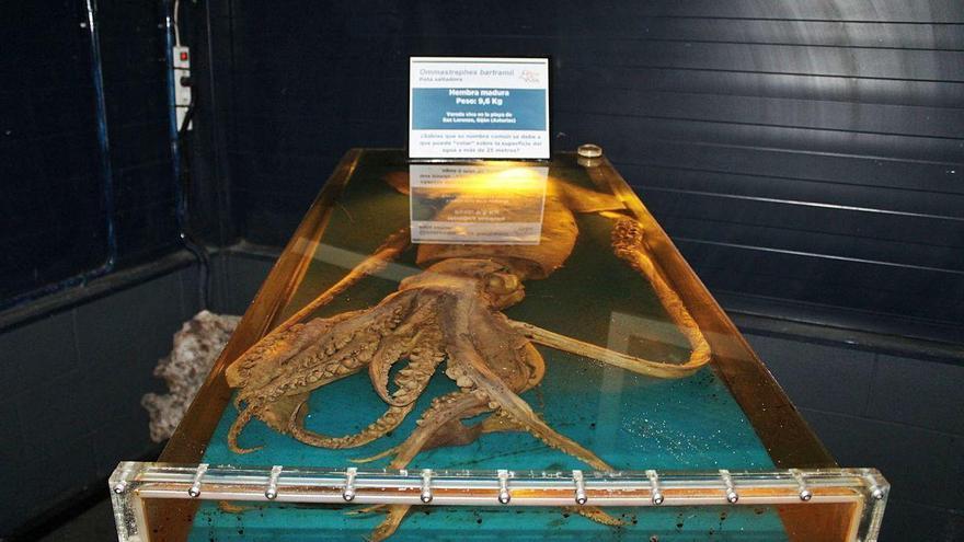 Los calamares gigantes de Asturias se van a la disco