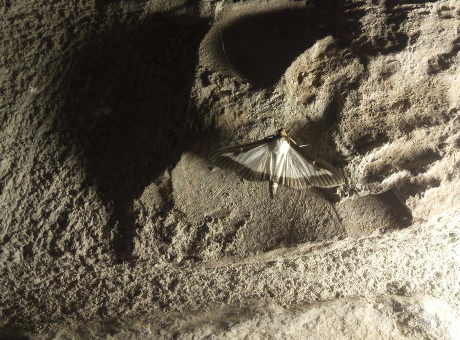 Papallona. Aquest dijous passat, el cel d'Horta d'Avinyó estava infestat de la papallona del boix o eruga defoliadora. Aquesta nova plaga és originària de les regions subtropicals humides de l'est de l'Àsia.