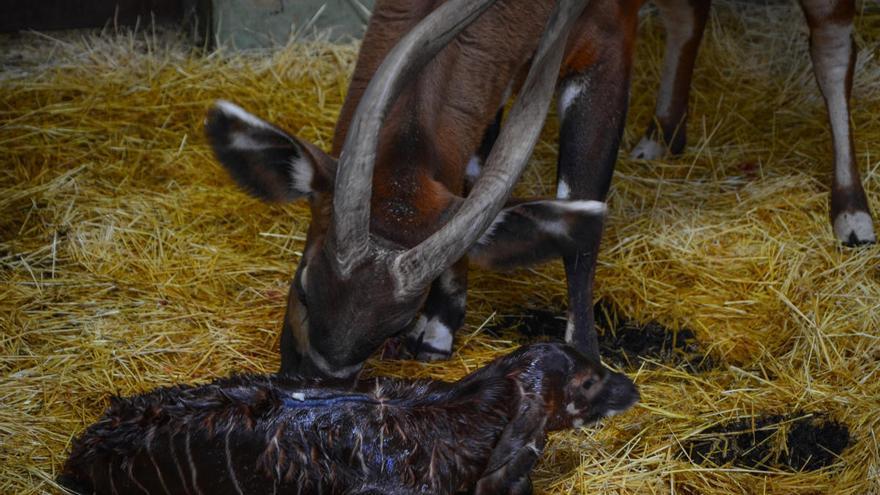 Graban el nacimiento de un bongo oriental en Bioparc