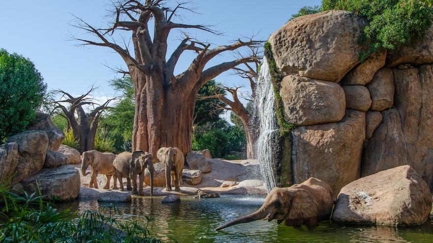 Contemplar los majestuosos elefantes africanos en València