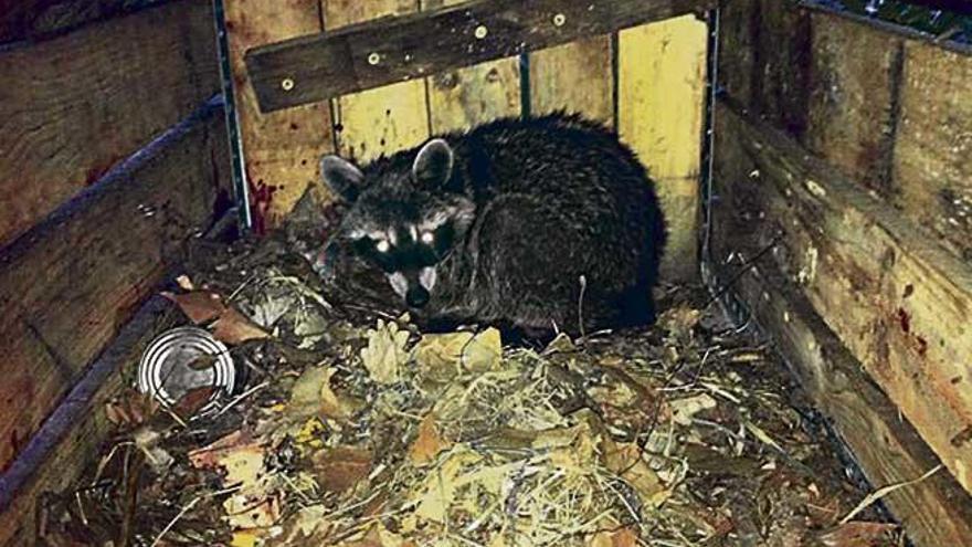 Vecinos capturan tres mapaches en Deià con trampas para gatos