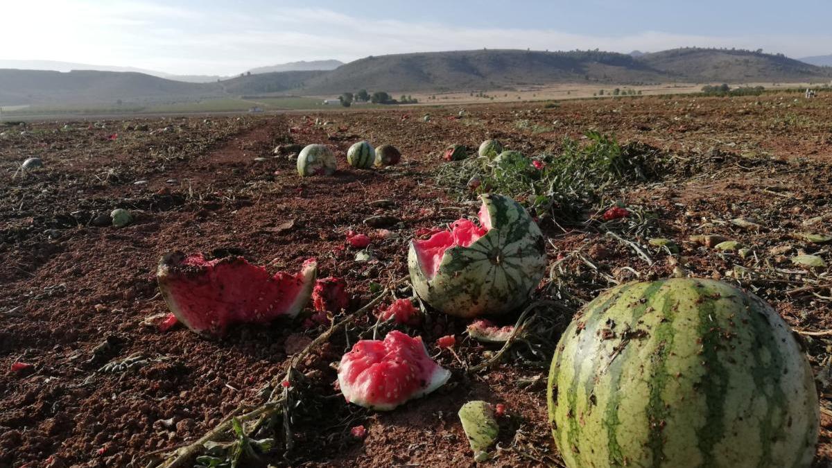 Denuncian el abandono de millones de melones y sandías en dos fincas de Yecla