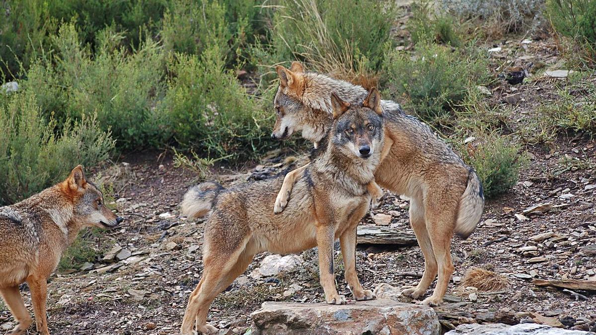 Tres ejemplares de lobo en el Centro del Lobo Ibérico de Robledo.   Araceli Saavedra