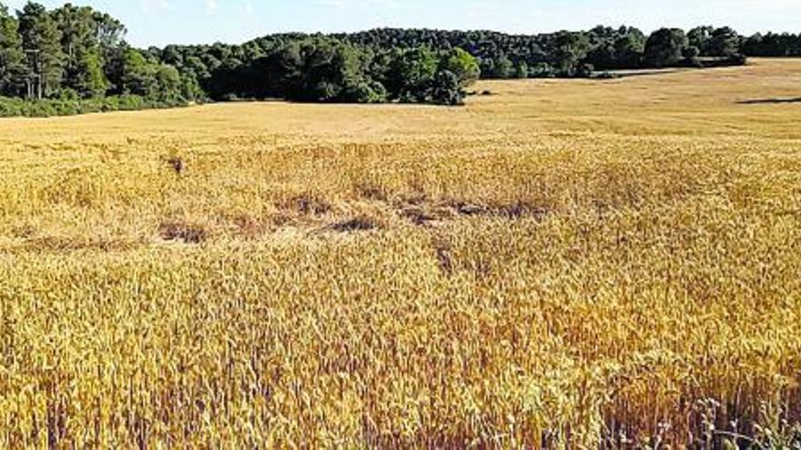UP preveu una campanya del cereal al Bages «molt irregular i dolenta»