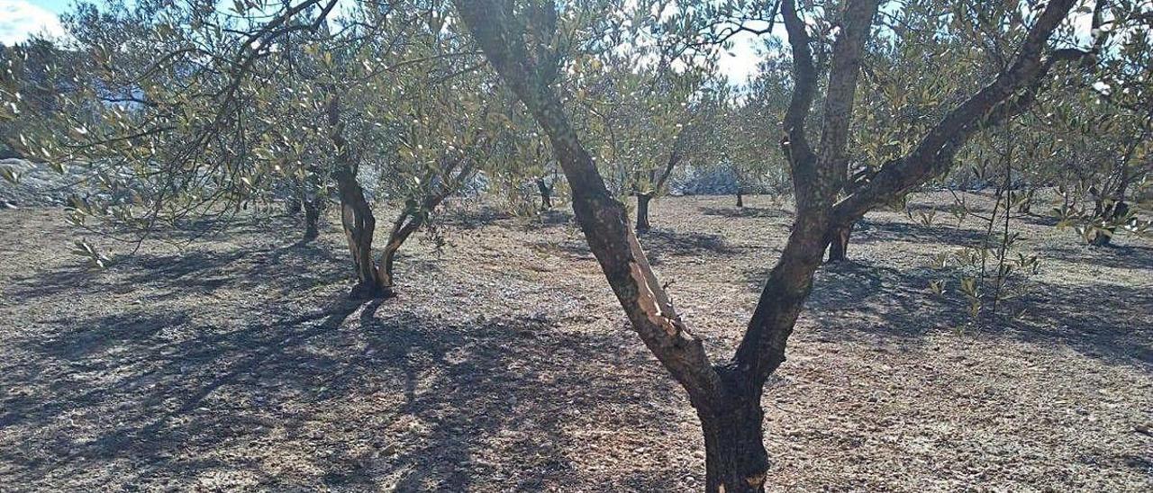 Daños en las cortezas de los árboles frutales y también en los sistemas de goteo en naranjos.
