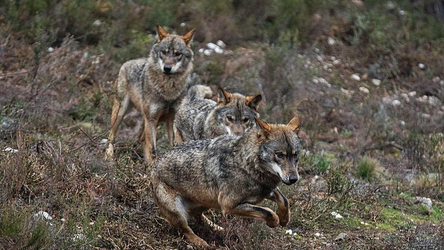 Los municipios de Castilla y León, contra la protección del lobo