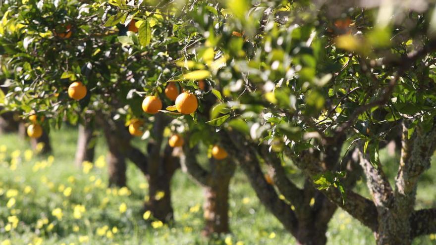 So gut schmeckt Mallorca: Sóller und Fornalutx feiern ihre Orangen