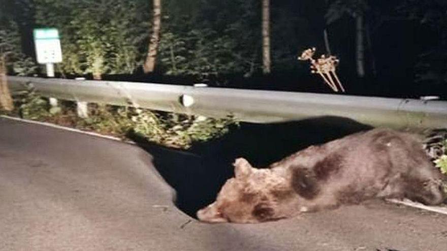 Un oso herido deambula por Somiedo