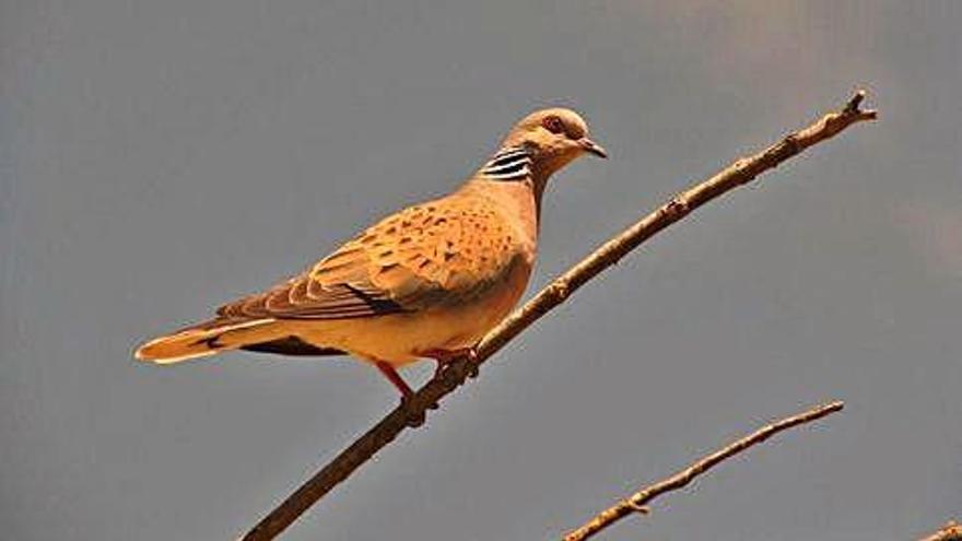 La Sociedad Española de Ornitología reclama la exclusión de la tórtola del listado cinegético