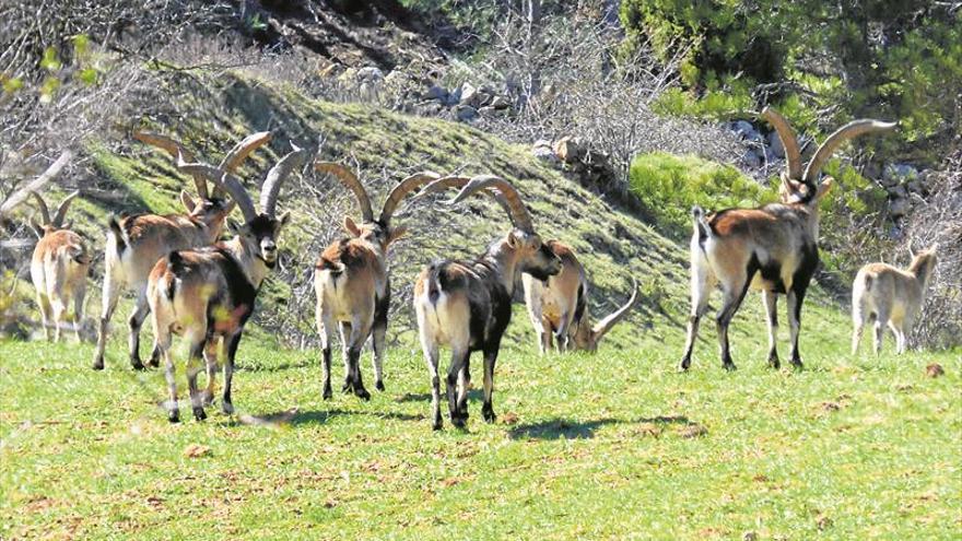 Medican las cabras en Els Ports ante la cercanía de casos de sarna