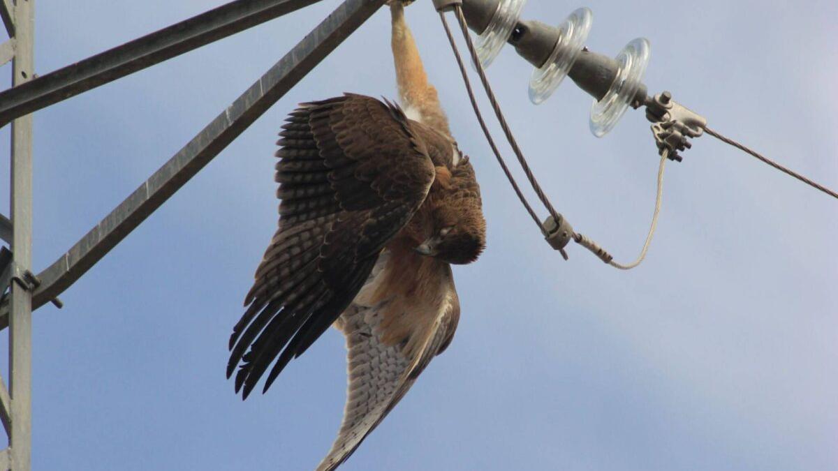 La Fiscalía se querella contra las torres eléctricas que matan aves