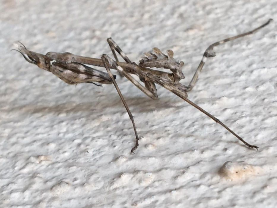 'Mantis'. També anomenada insecte pal, pregadéu o plegamans, va aparèixer a la paret de casa de la nostra lectora. Té la particularitat del seu mimetisme per passar desapercebut a la mirada de tothom.