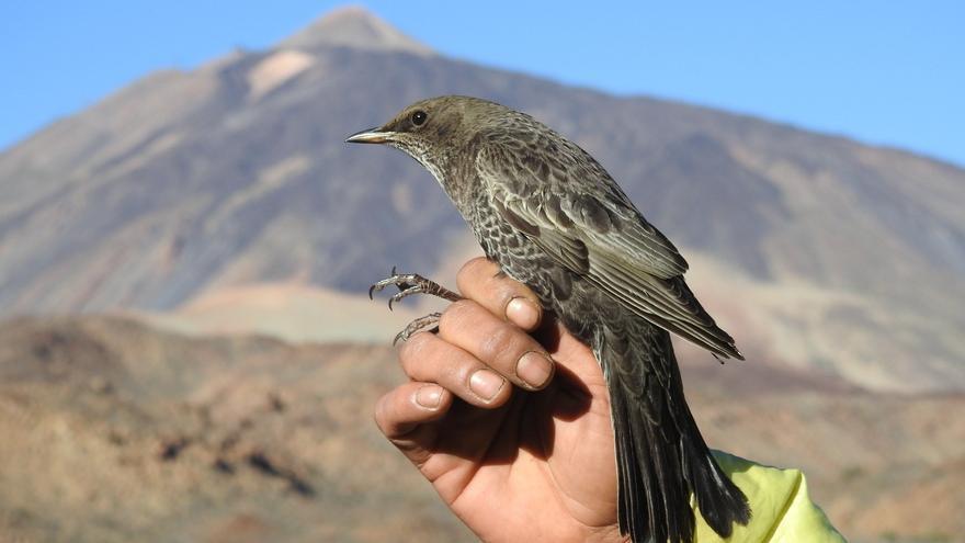 El mirlo capiblanco contribuye a asegurar la pervivencia del cedro canario en Tenerife