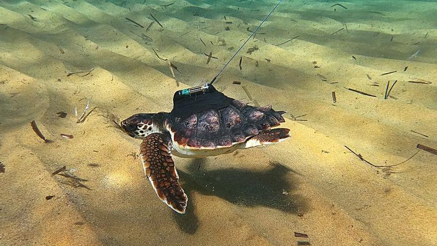 Una tortuga boba recorre 5.000 km desde Calblanque