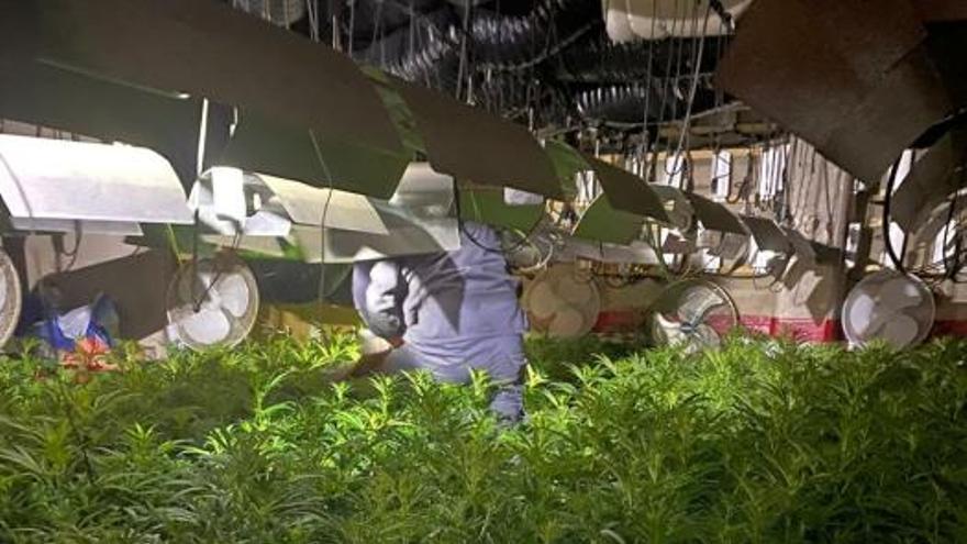 Tres detinguts per tenir 1.378 plantes de marihuana en un habitatge de l'Escala