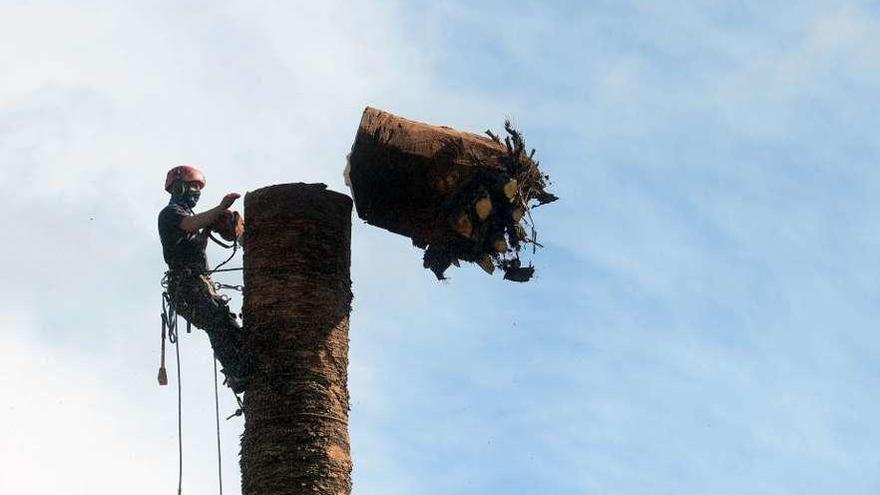 El picudo se lleva por delante una de las palmeras más longevas del municipio