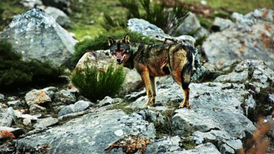 Denuncia ecologista contra el Ministerio de Teresa Ribera por no proteger al lobo