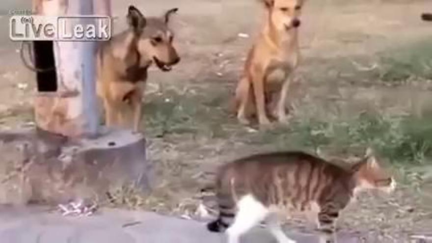 Cap gos s'atraveix a plantar-li cara a aquest gat