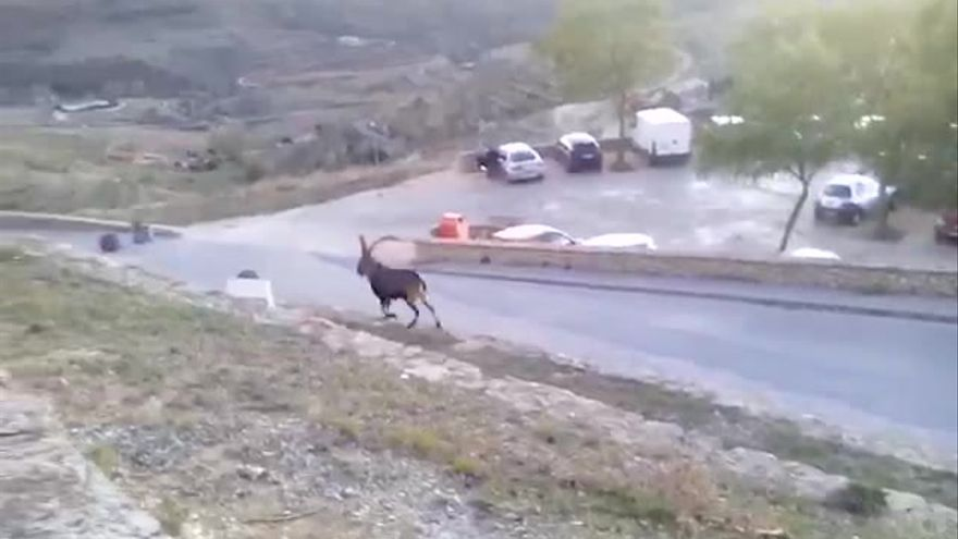 Morella urge acciones al Consell ante la superpoblación de cabras