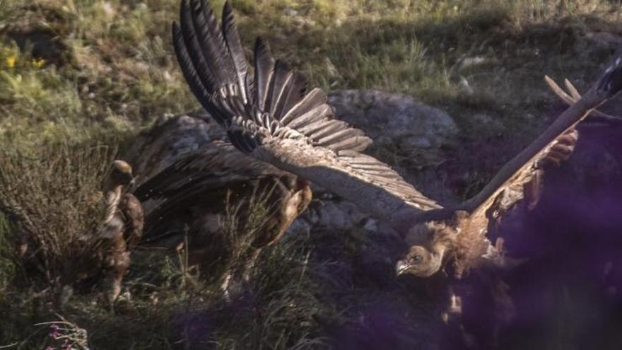 VÍDEO | Un ganadero sorprende a una bandada de buitres devorando en Fornillos de Fermoselle a una oveja recién parida