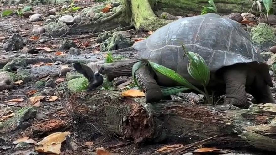 Una tortuga gigante vegetariana ataca y caza una cría de pájaro en las Seychelles