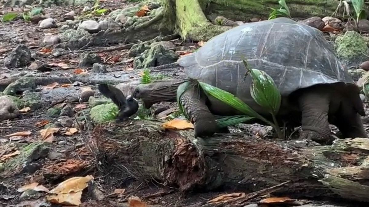 Tortuga gigante en la Isla de Fregate, atacando a una cría de pájaro